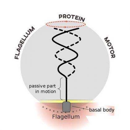 Flagellum Protein Motor