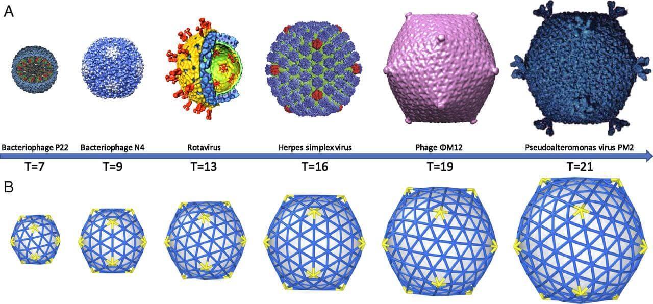 virus capsid structure